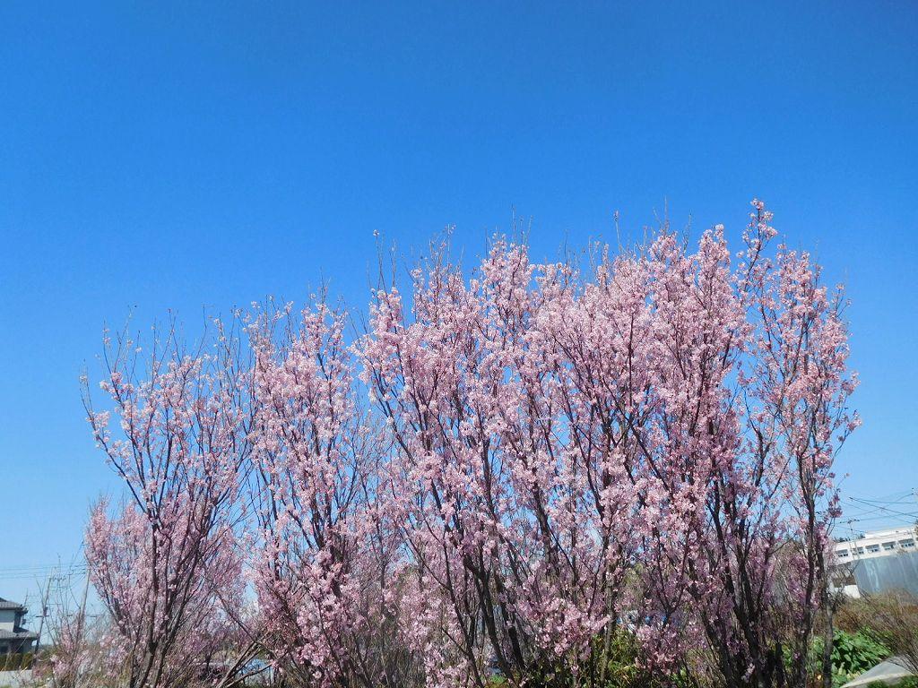 青空に桜のピンクが映えてますね