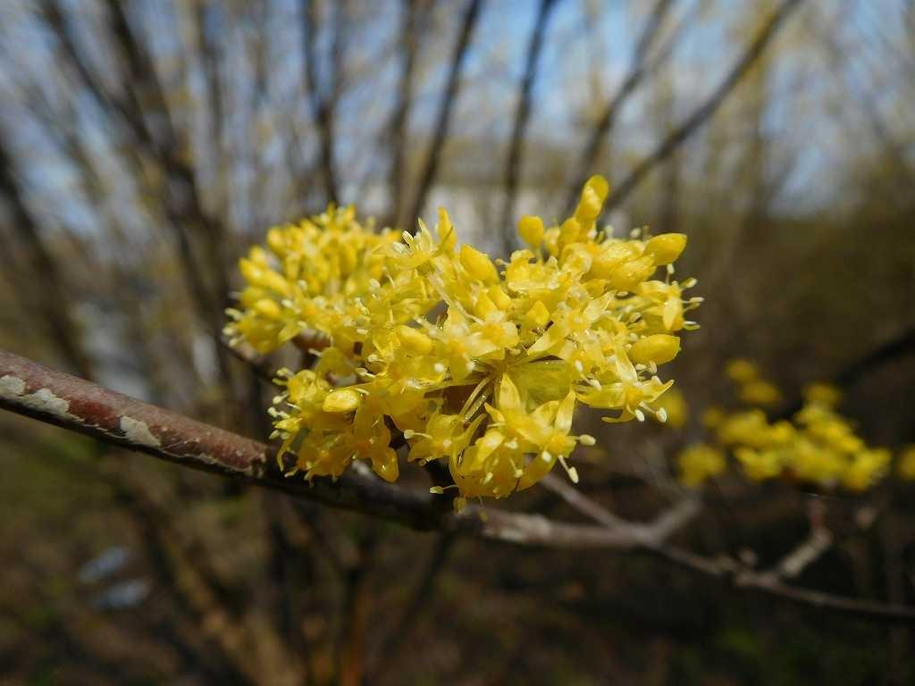 山茱萸も黄色い花をつけています