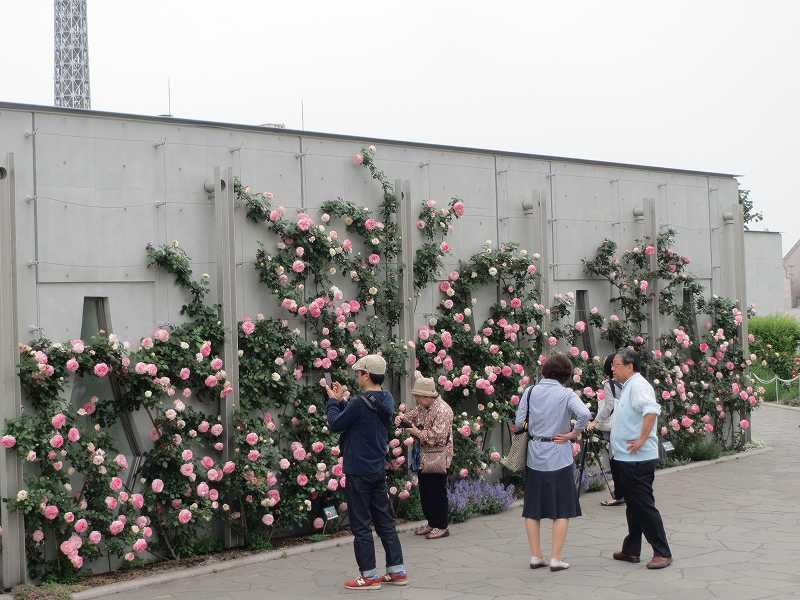 アメリカ山建物に蔓バラが綺麗に咲いている