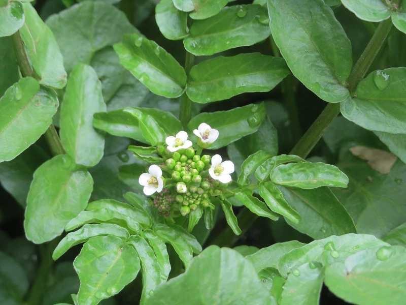 北八朔公園の横には「クレソン」が小さな花を咲かせています