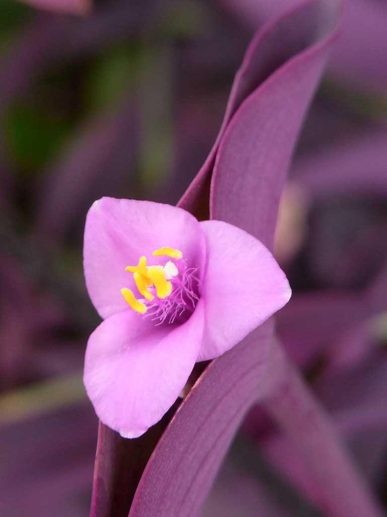 鶴見川沿いには皇帝ダリアとと共に紫御殿も満開でした