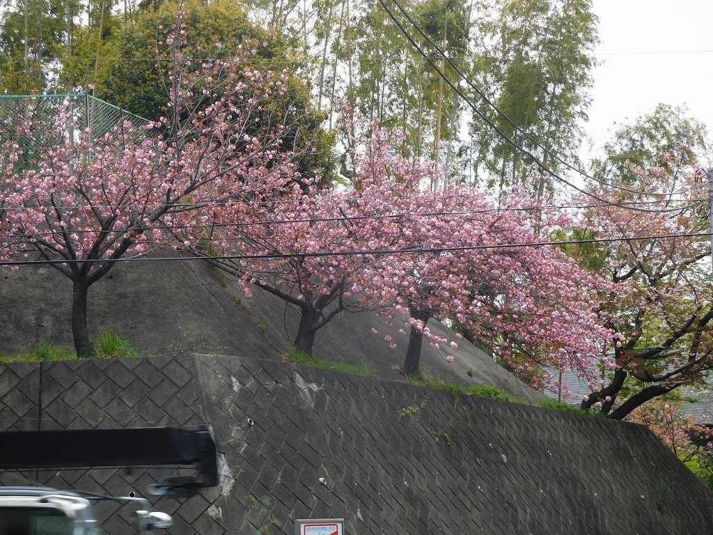 国道246号線から都筑へ向かう途中の八重桜も満開状態です
