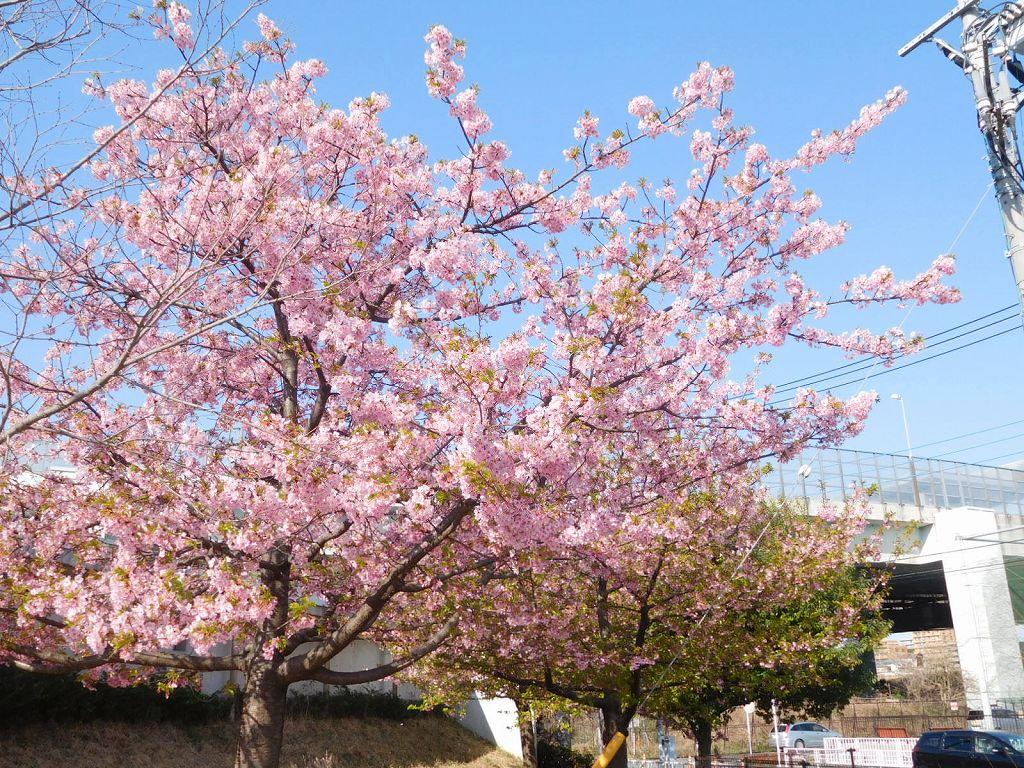 谷本公園の河津桜も終わりに近くなった