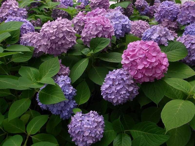 荏田東第一小学校横の紫陽花