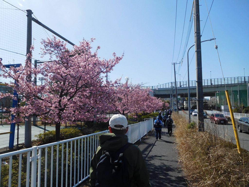 谷本公園の河津桜満開です