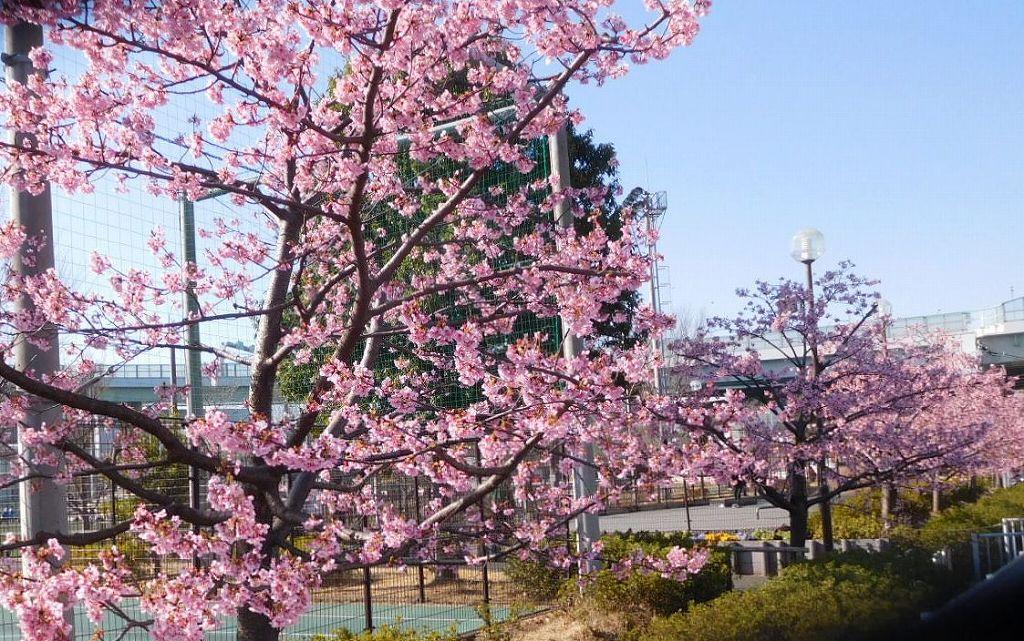 谷本公園の河津桜も満開となりました