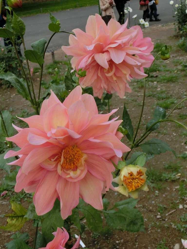 皇帝ダリアの寒さに対する強さと園芸品種の色彩・花姿を備えている