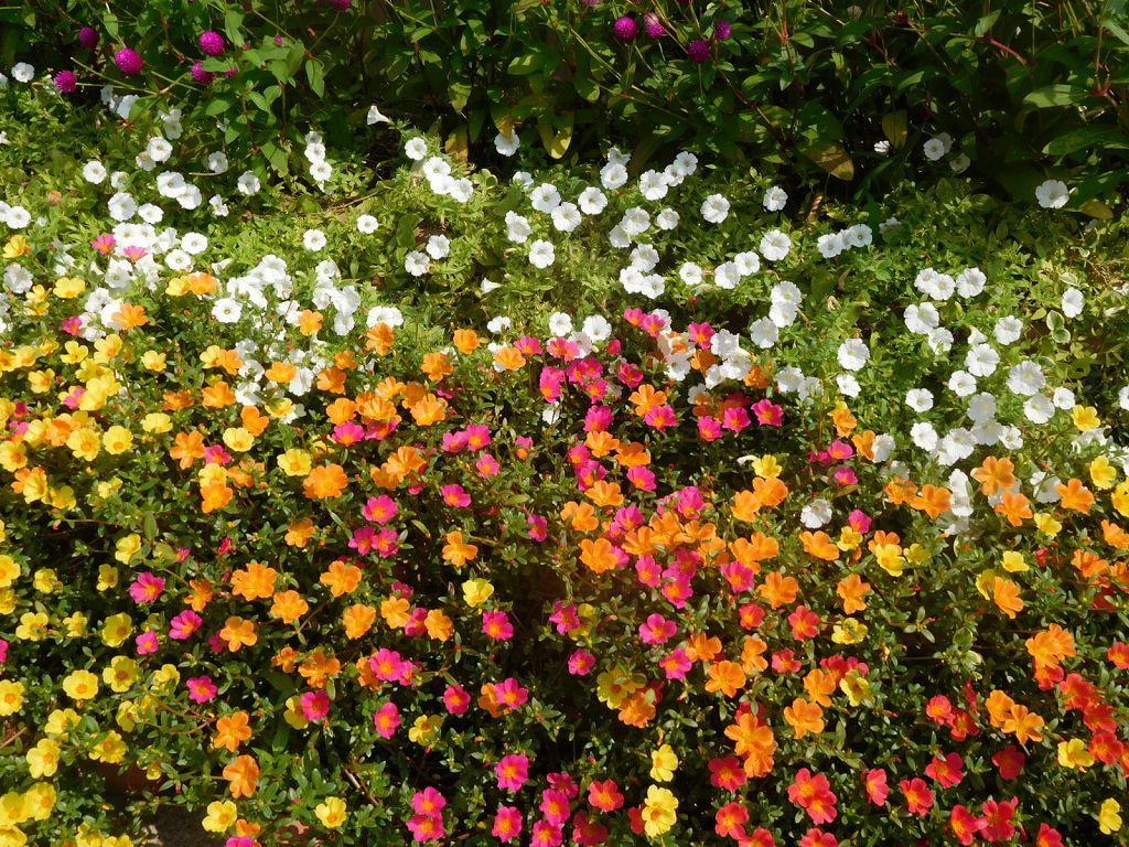 エダキン商店街の花壇 ポーチュラカが見事です