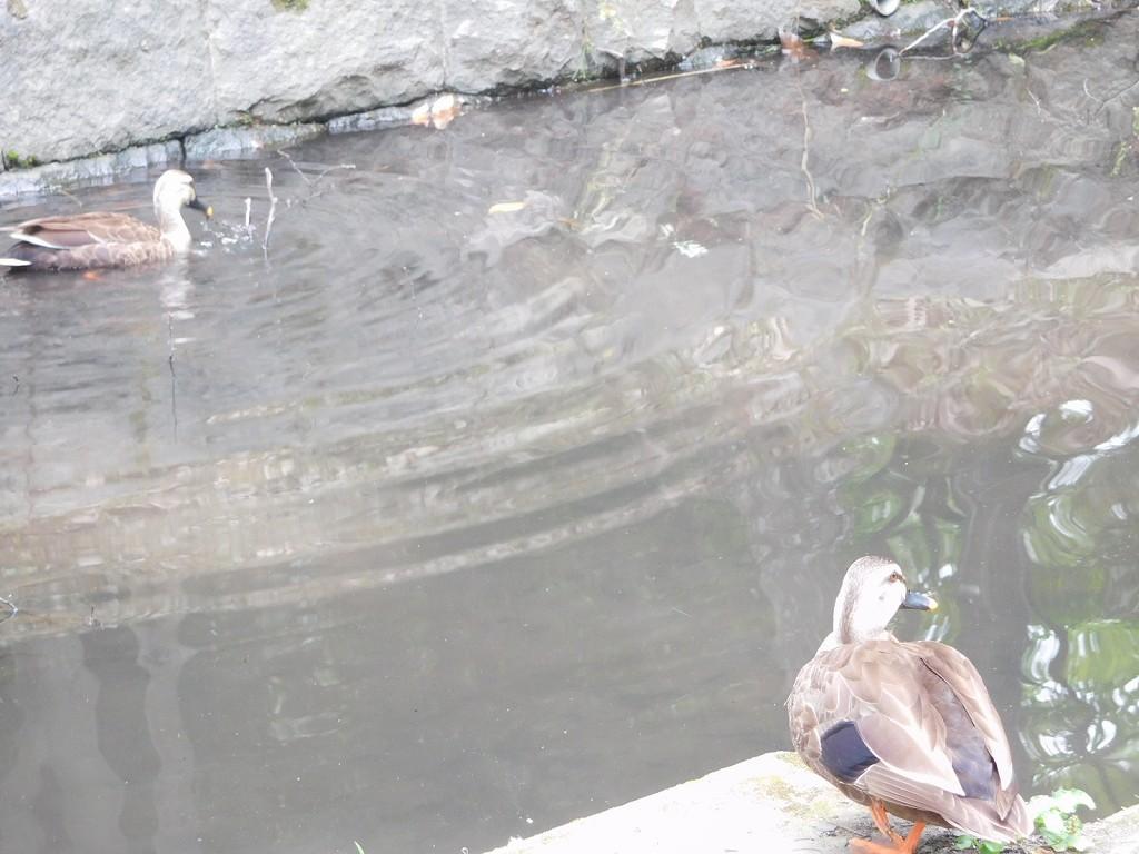 あまり綺麗では無い水辺にも鴨が飛来してきてます