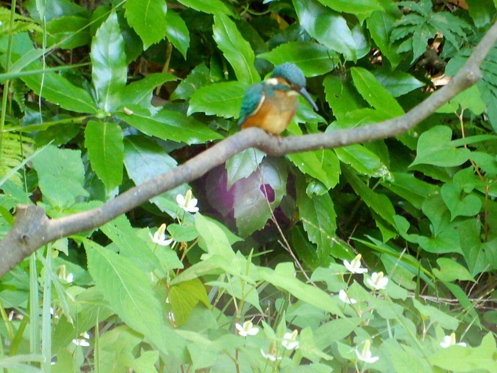 ばしょうじ谷戸前の池に「翡翠」が一羽