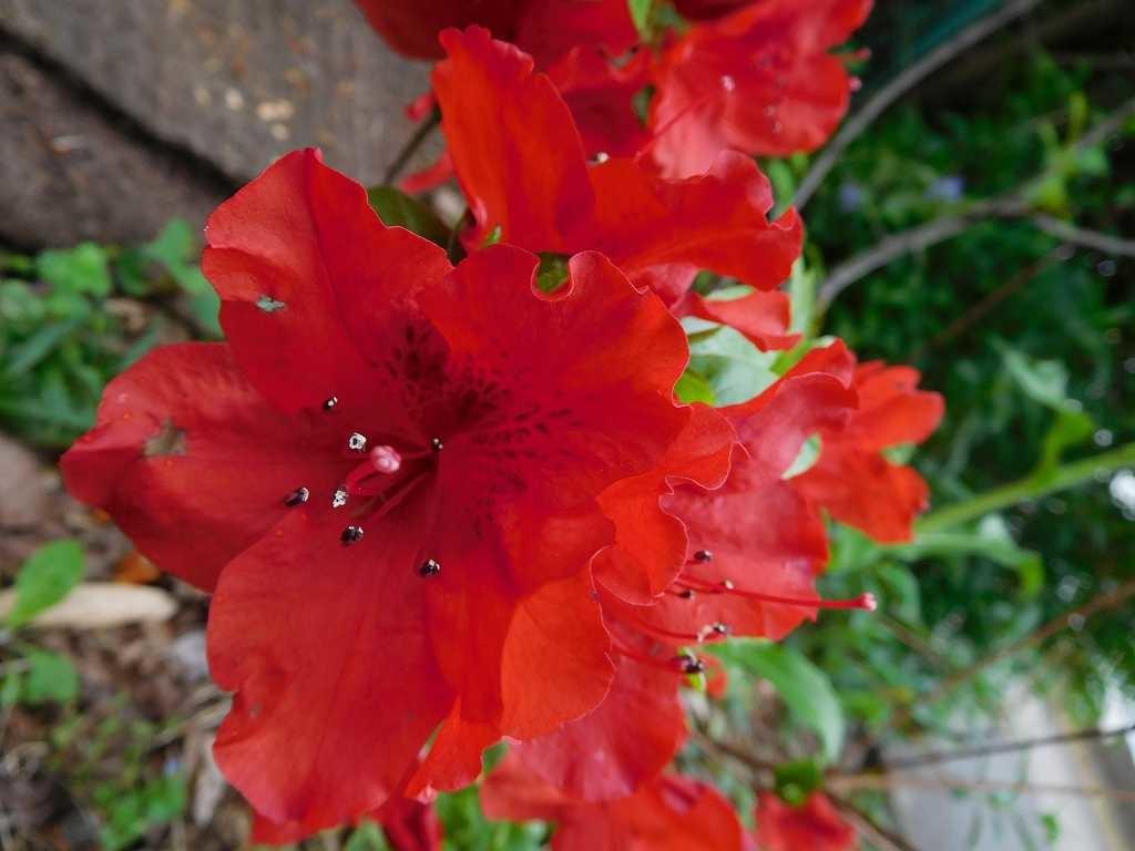 駐車場横には真っ赤な躑躅も咲いています 花の多いお寺さんです