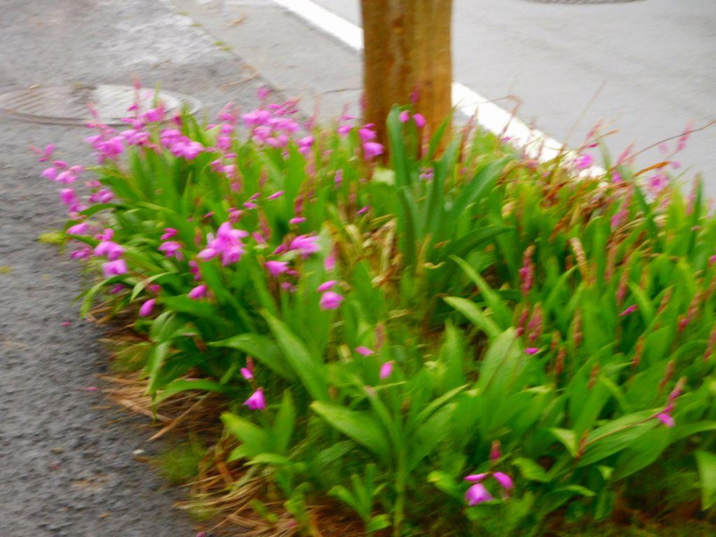 長谷第一公園横の花水木街路樹の下には紫蘭が満開