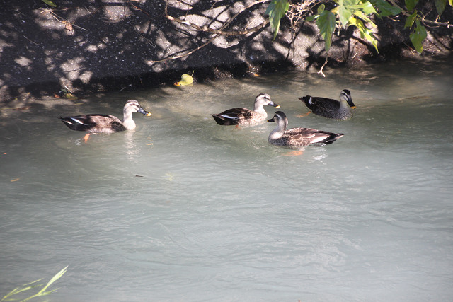 玉川上水で戯れる鴨親子?