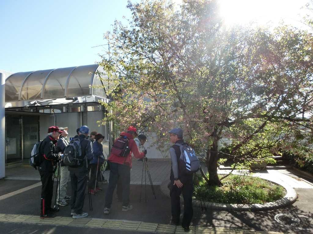 これが「ヒマラヤ桜?」と尋ねる初めて訪れる会員