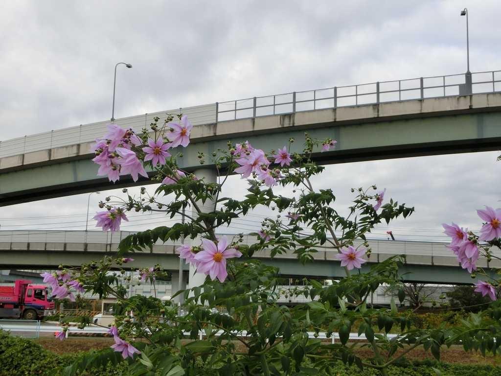鶴見川沿いには皇帝ダリアが一杯咲いています