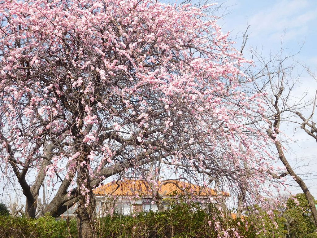 みのり公園の枝垂れ梅のアップです