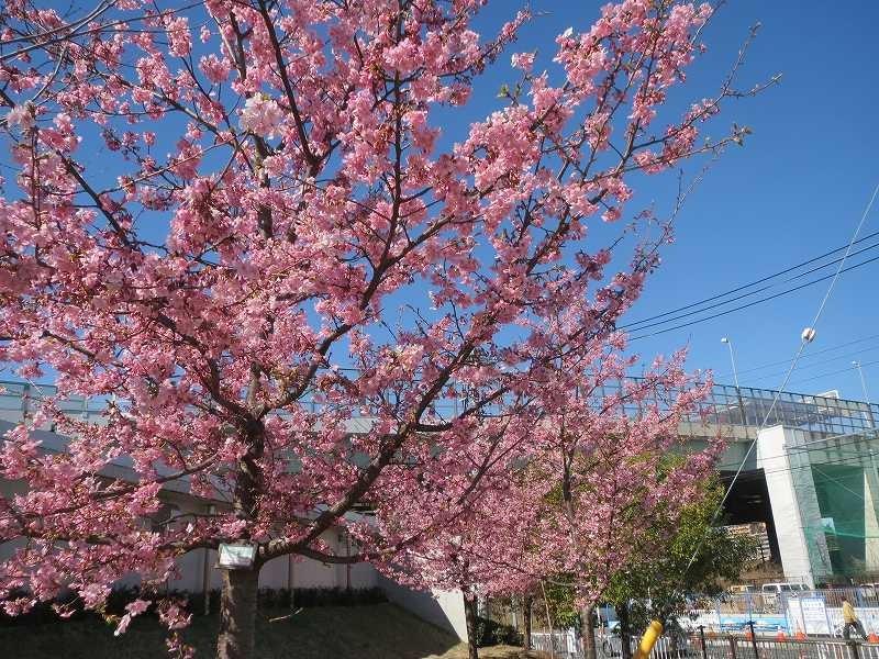 谷本公園の河津桜も前回は一輪・二輪でしたが今日は満開!!