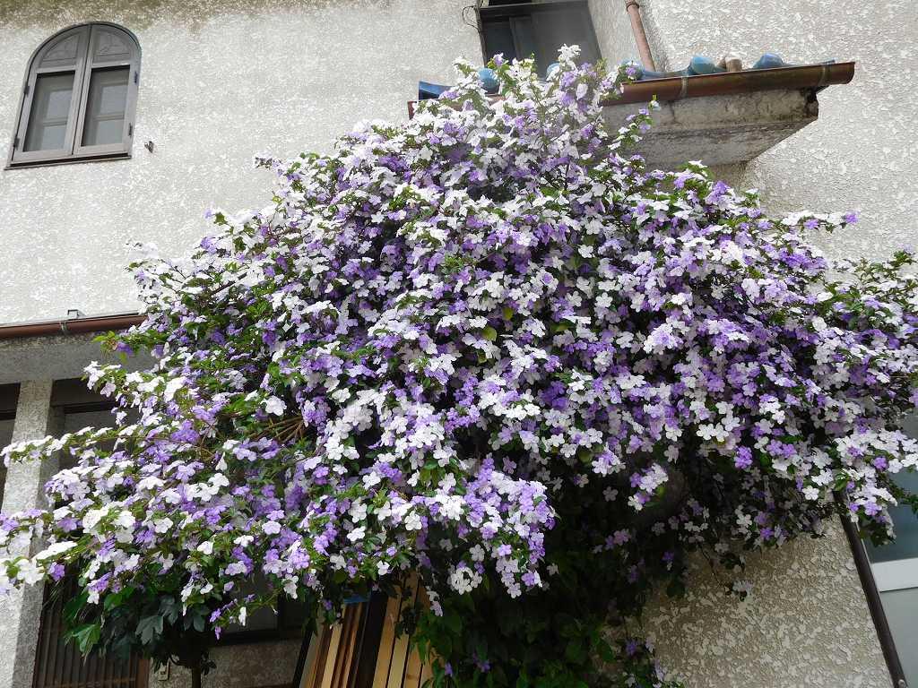 ニオイバンマツリの花が満開の御宅