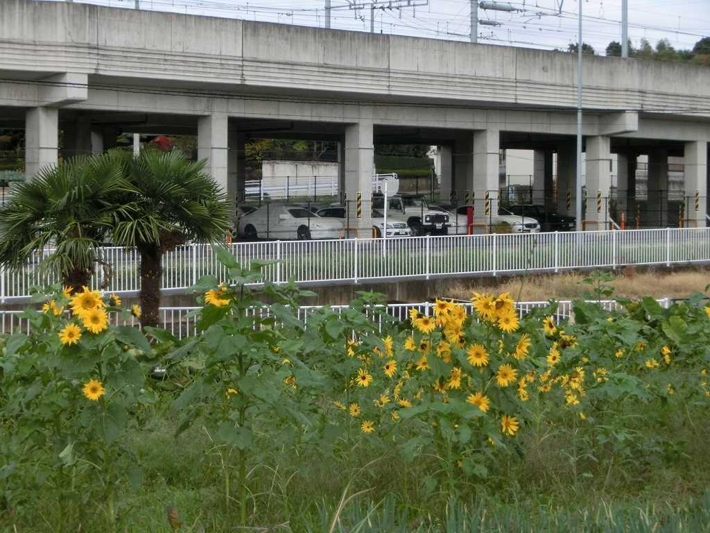 川和駅を過ぎた処には「向日葵」が集団で咲いています