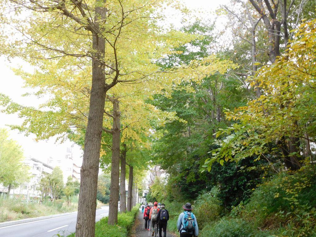 バス通りの銀杏は黄葉し始めています