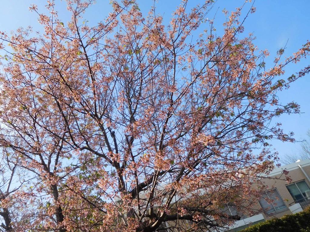 ピンクが強く見えますが、さすがに12月末ですもね花勢は衰えています