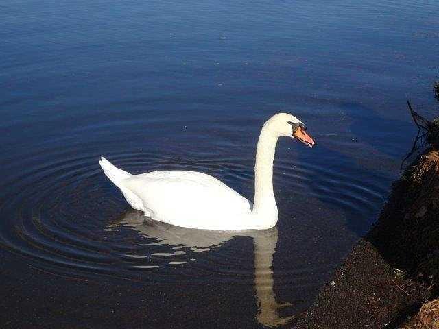 遠くから一羽の白鳥が我々目指して寄ってきました