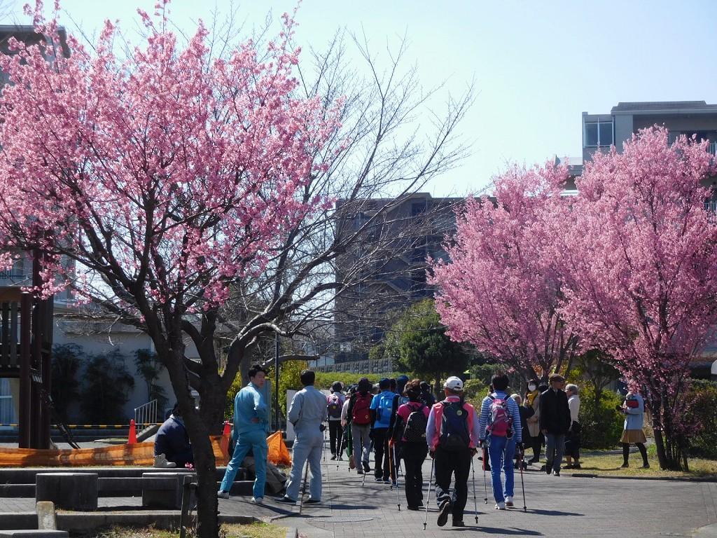 北八朔住宅地の桜も満開です