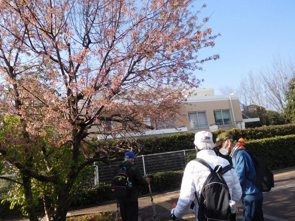 藤が丘地区センターのヒマラヤ桜はまだ咲いていました