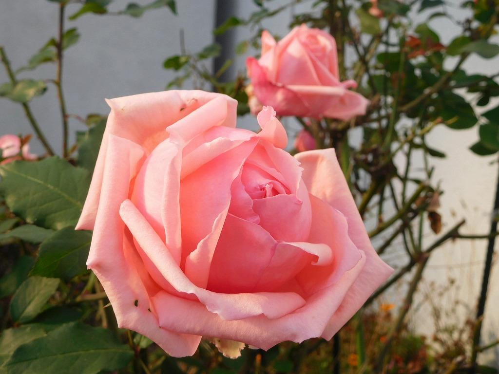 地区センター花壇のバラが綺麗に咲いてます