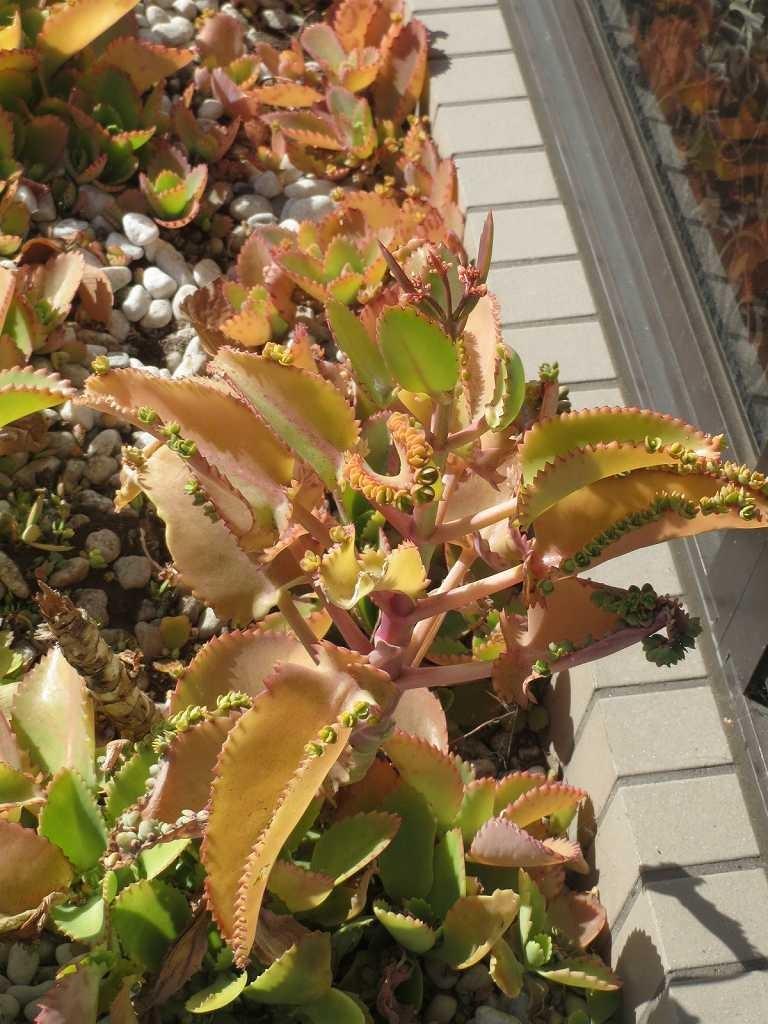 通り道の御宅の花壇には多肉植物「コダカラソウ?」が一杯
