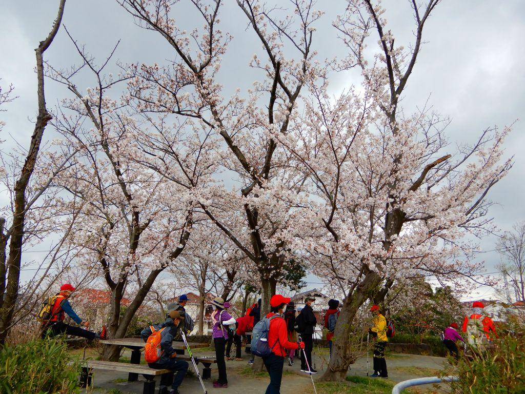 同 桜に囲まれた感じです