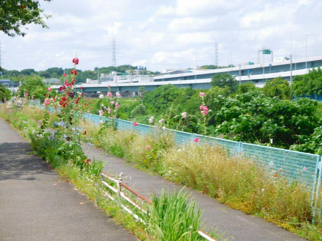 鶴見川沿いに咲く花葵が綺麗です