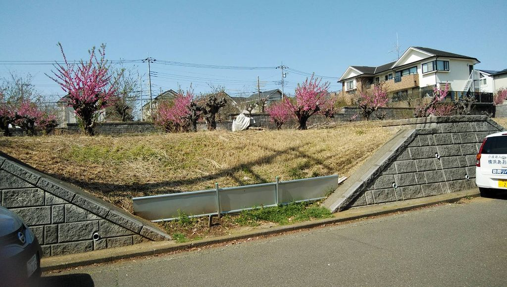 鍛冶谷公園前の花桃 少し葉が出てきましたね