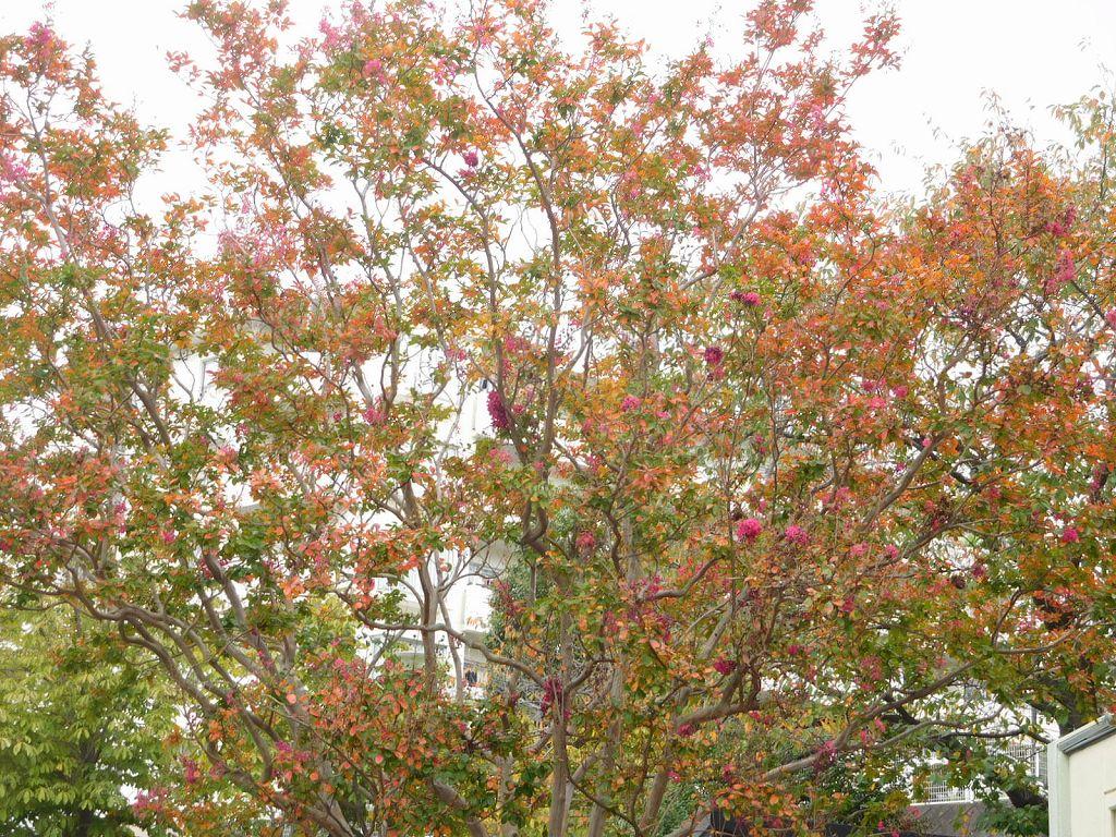 すすきの公園入口の花水木には赤い実が実っています