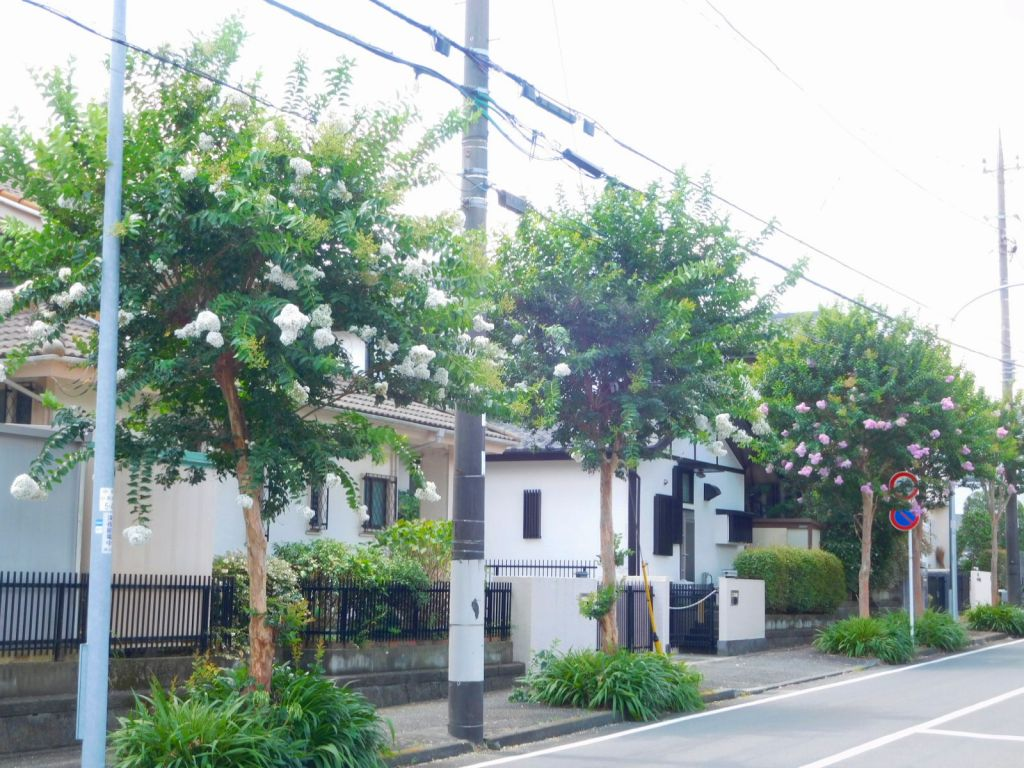大場地区の百日紅街路樹が綺麗