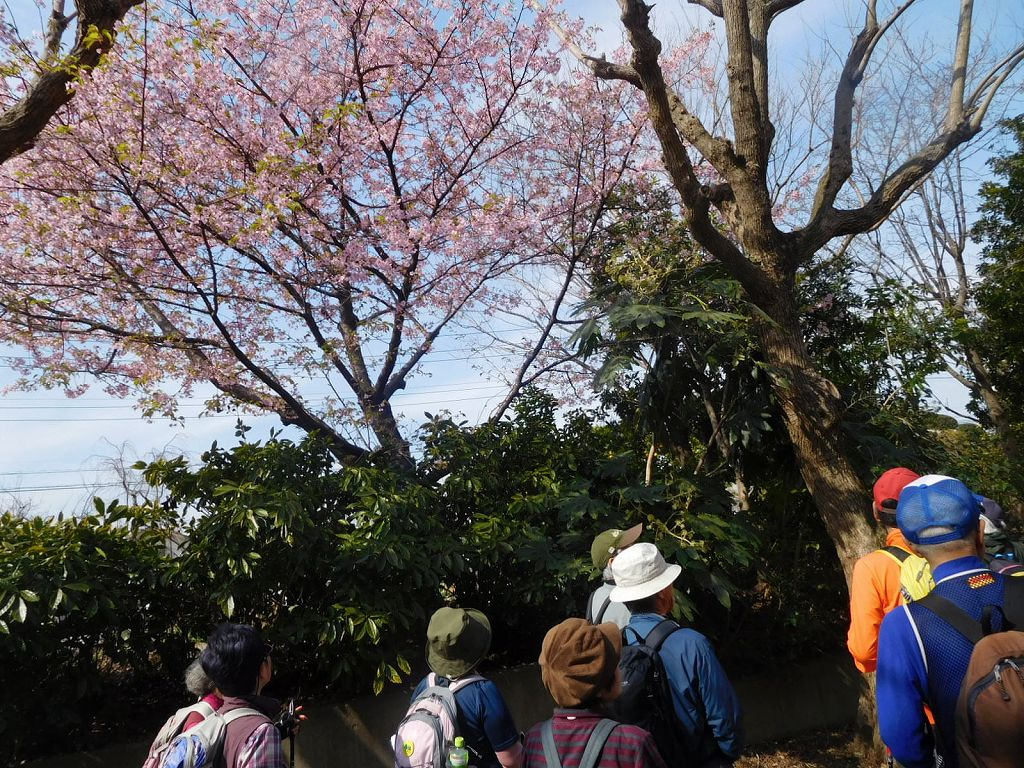 河津桜が満開でした