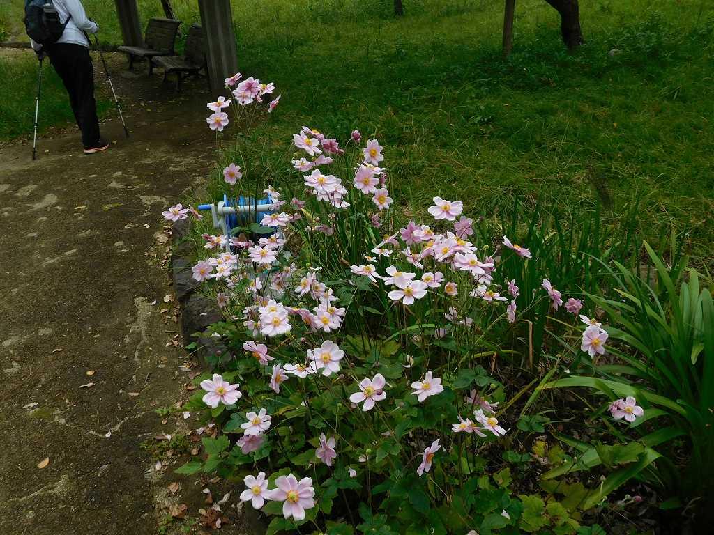 小黒公園の秋明菊も綺麗に咲いてます