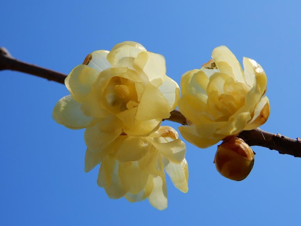 境内に咲く「ロウバイ」