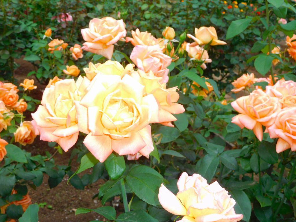 バラも綺麗でした
