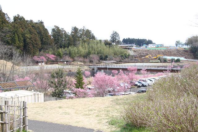 秦野戸川公園の桜が綺麗な駐車場は一杯のようです