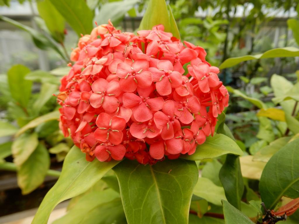 サンタンカの花も咲いています