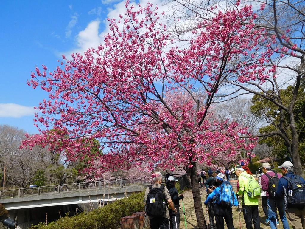残堀川沿いの寒緋桜を眺めつつウォーキング
