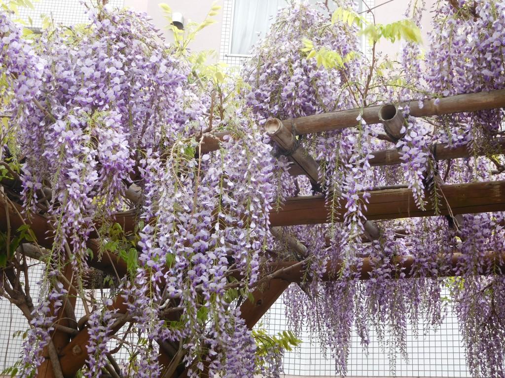 藤棚に藤の花が満開です。