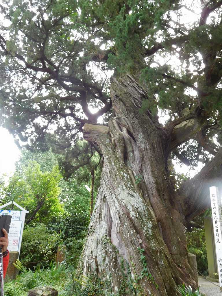 神奈川名木100選のひとつ樹齢150年以上の「ビャクシン」の大木