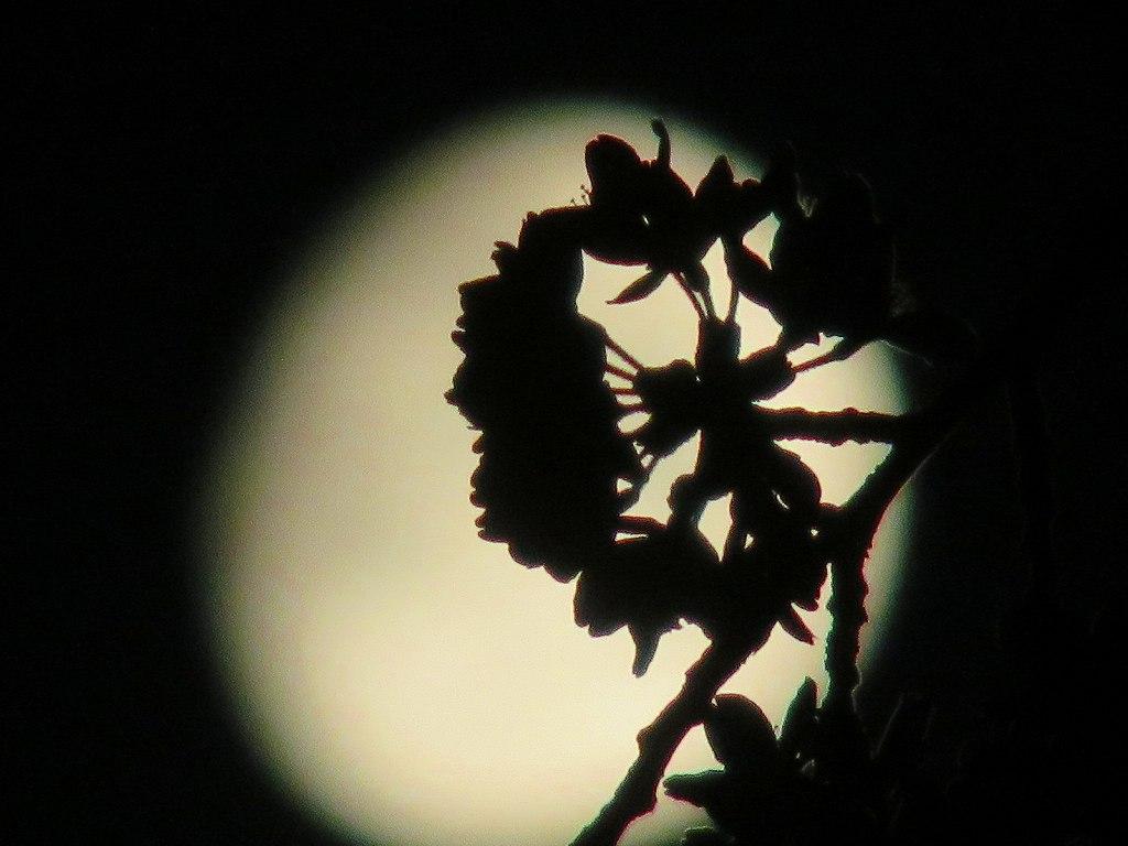 月影の桜花