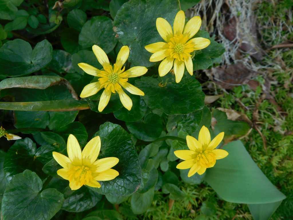 (金色の花をつけて立っている花)立金花が咲いている御宅もありました
