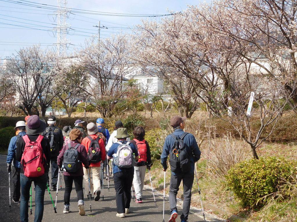 公園隣の御宅の白梅を観ながら歩く
