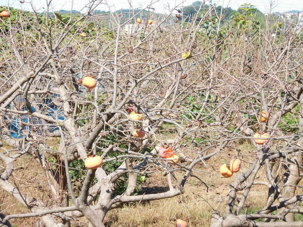 柿も実も残り少なくなっています