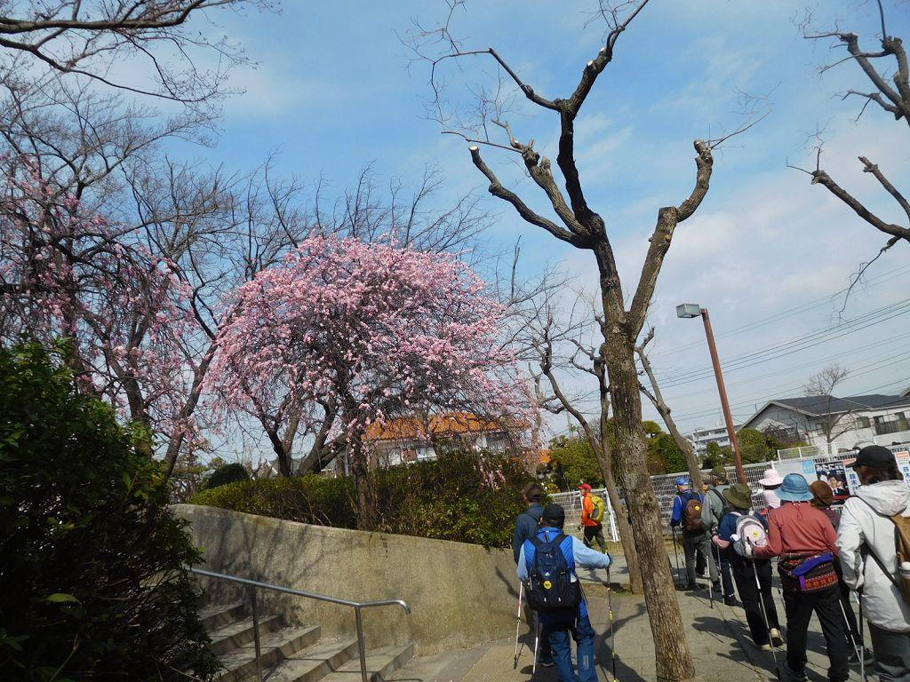少し先の荏田南みのり公園では枝垂れ梅が満開です