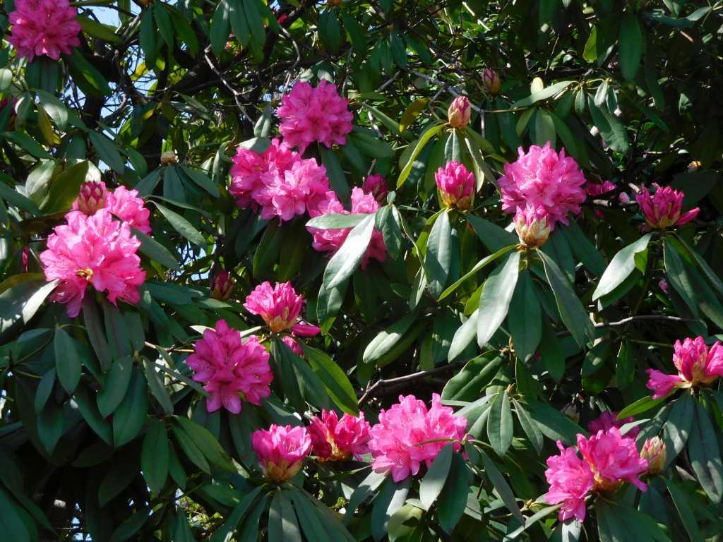 観福寺に咲く石楠花は満開状況で綺麗